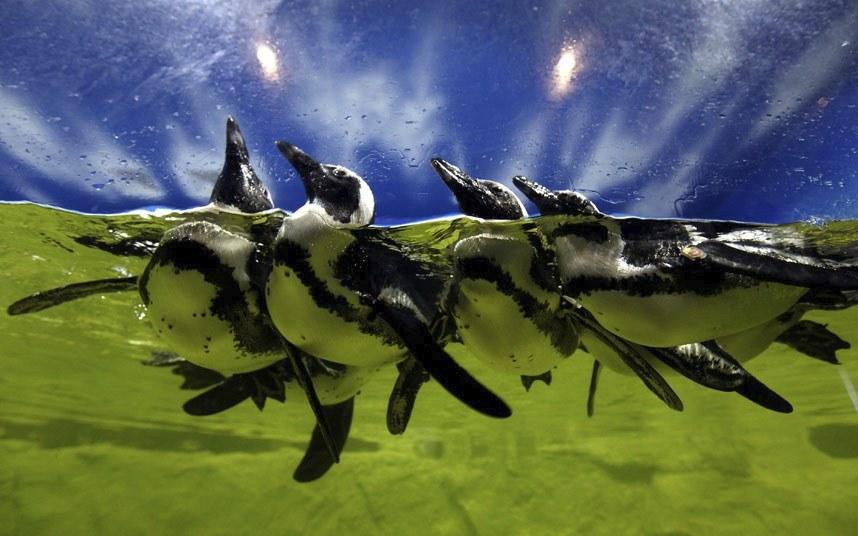 Пингвины в аквариуме в Ханое, Вьетнам