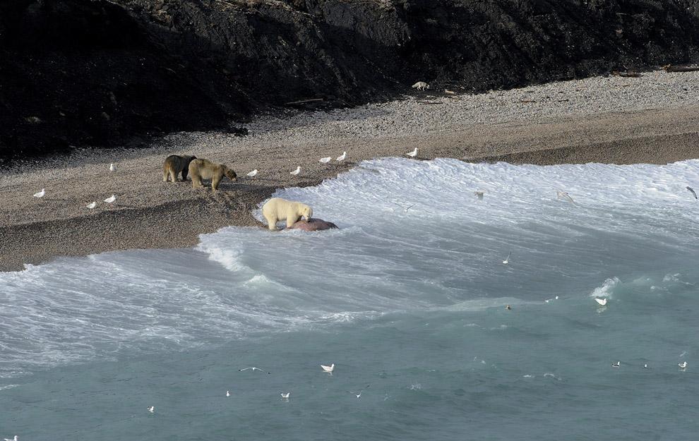 Как медведи моржа делили