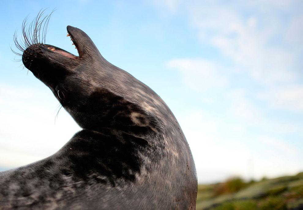 Знакомьтесь, местный житель, серый тюлень, он же тевяк