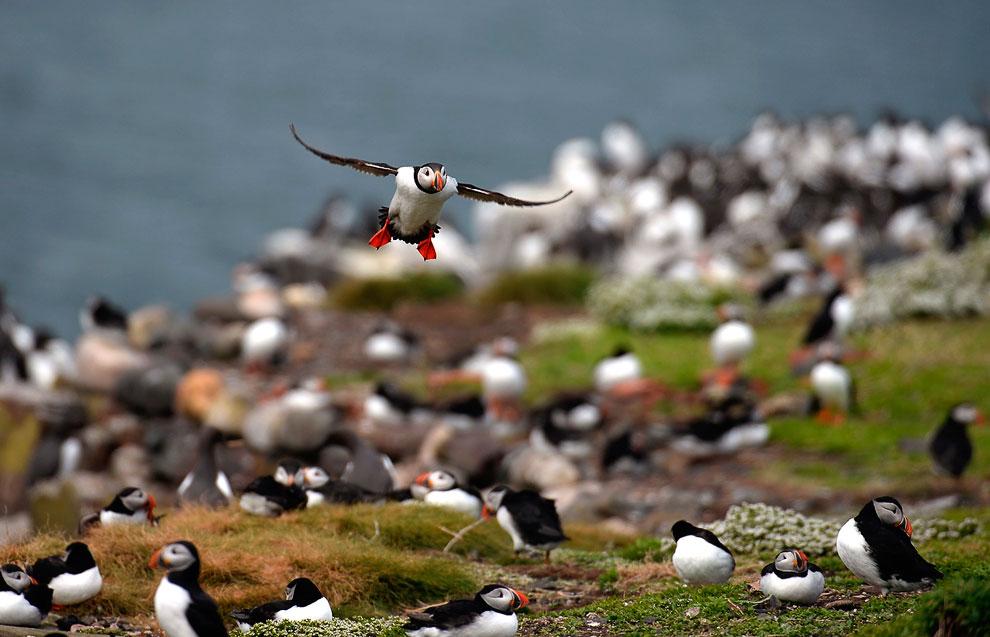 Великолепный тупик. Морская птица с высоким ярко окрашенным клювом и оранжево-красными лапами