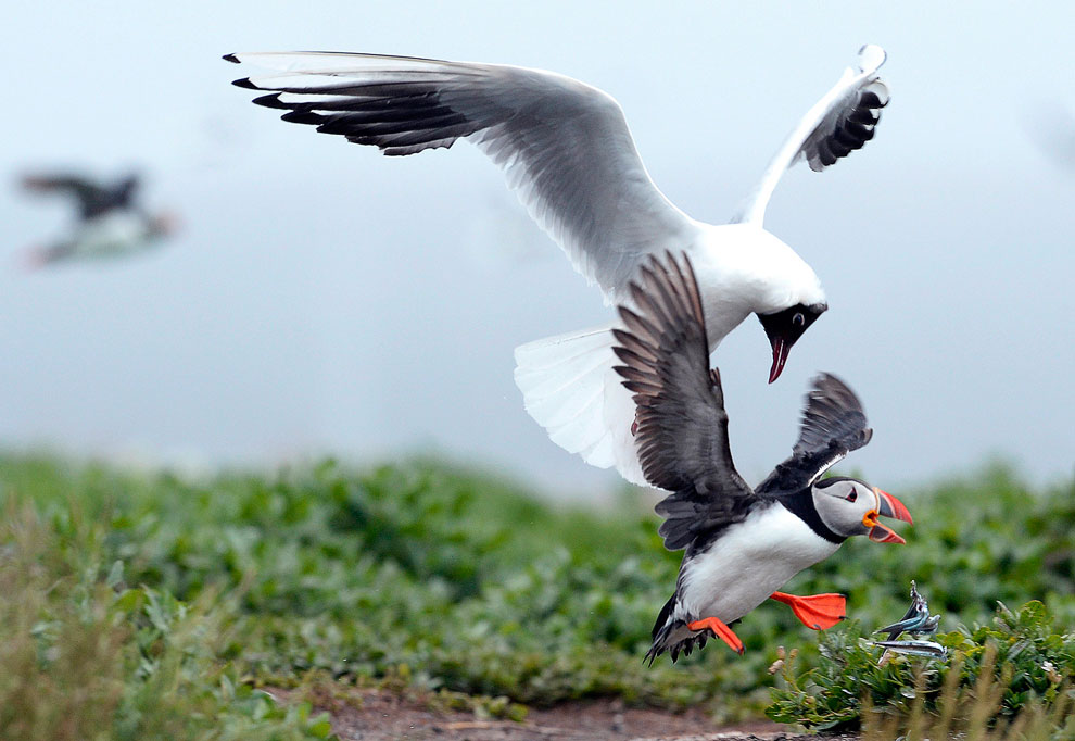 Птичьи разборки: чайка против тупика