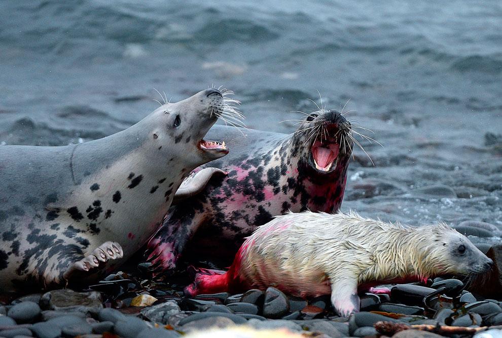 Переписчики местного населения покрывают тюленей специальным красящим веществом