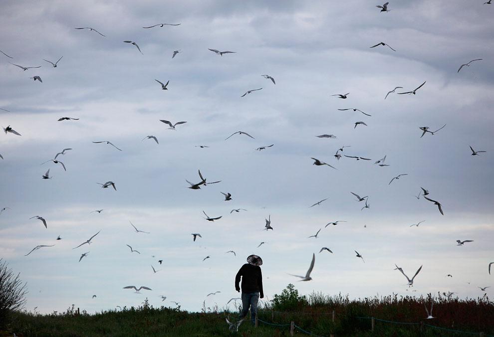 Посетителям островов Фарн рекомендуют носить шляпы, чтобы защитить себя от крачек: они пикируют вниз и атакуют любого, кого воспримут как угрозу своему гнезду