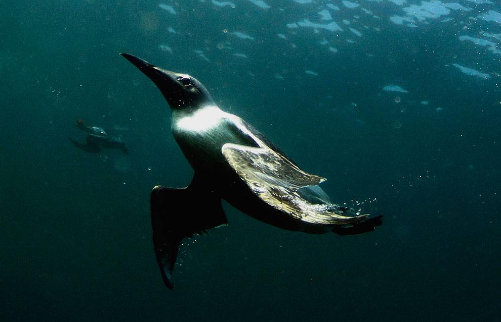 Кайра - морская птица, распространённая в северном полушарии