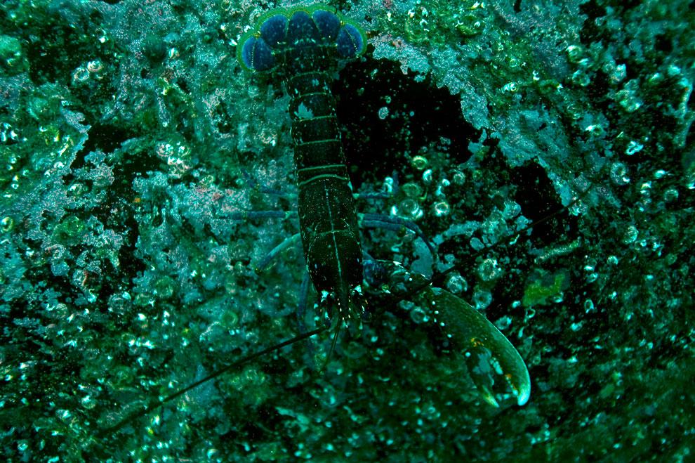 Еще один житель островов Фарн – омар
