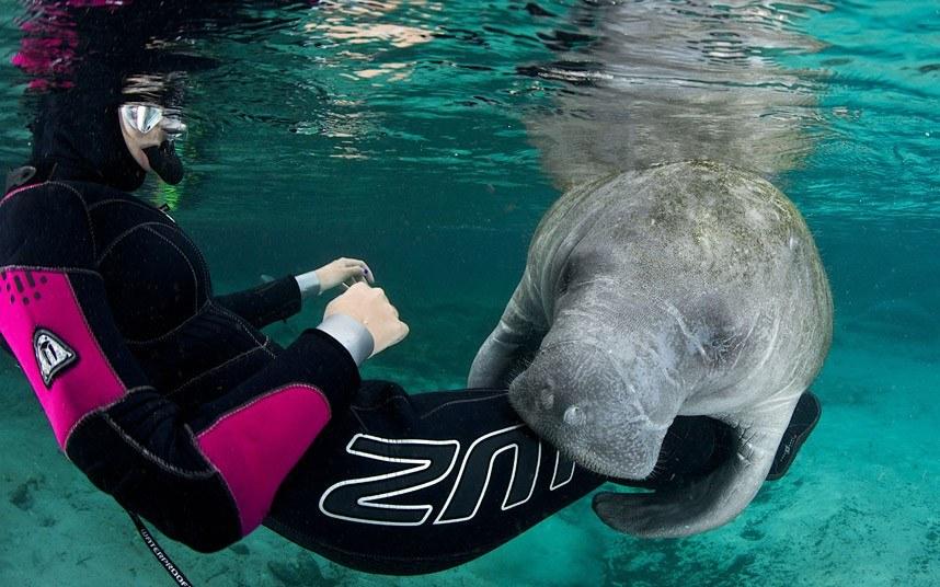 Заплыв с ламантином во Флориде