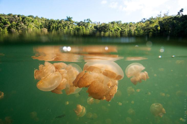 Озеро медуз