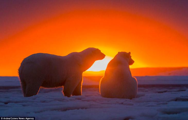Белые медведи и закат на Аляске