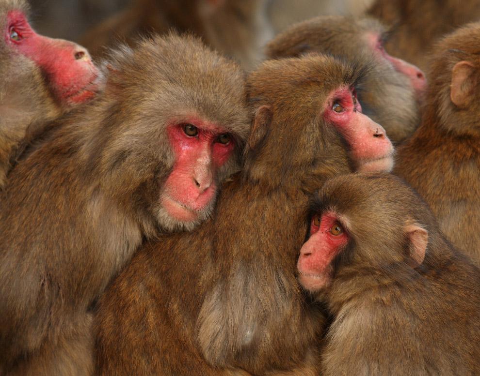 Группы греющихся «снежных обезьян» в префектуре Хёго, Япония
