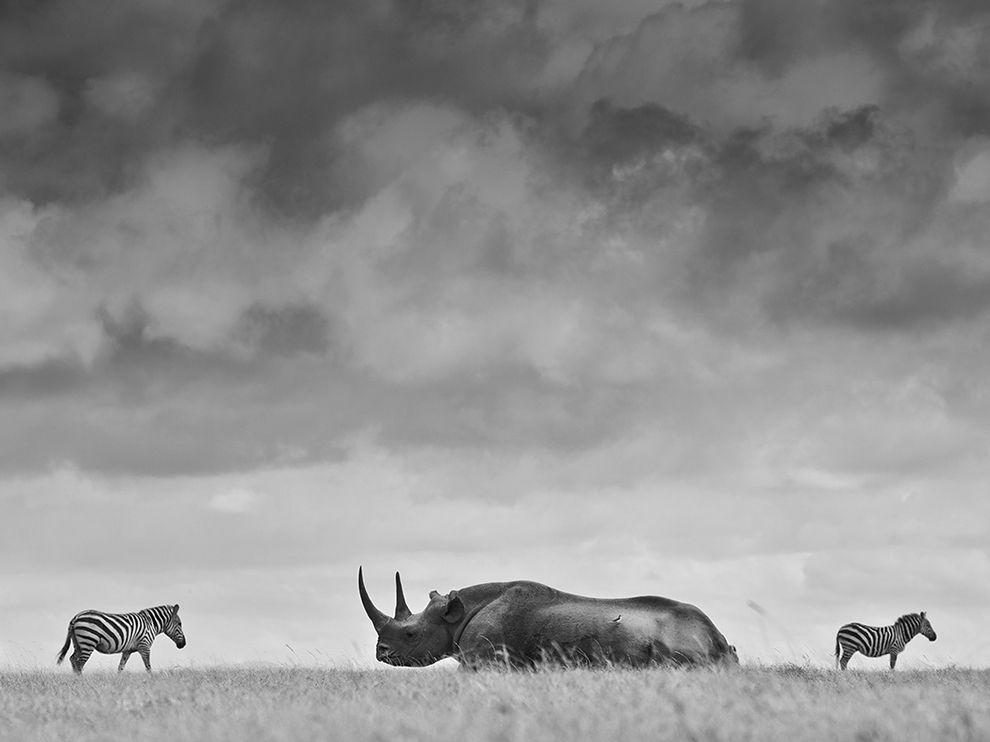 Черный носорог и две зебры в Кении