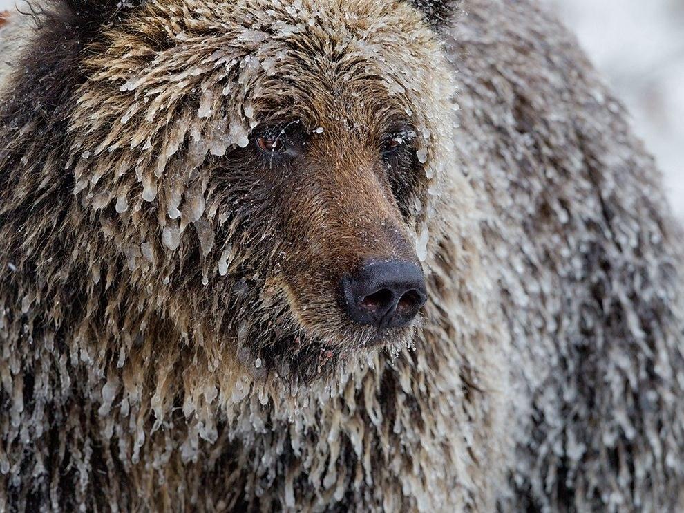 Наевшись лосося, медведь гризли готовится зимней спячке, Канада