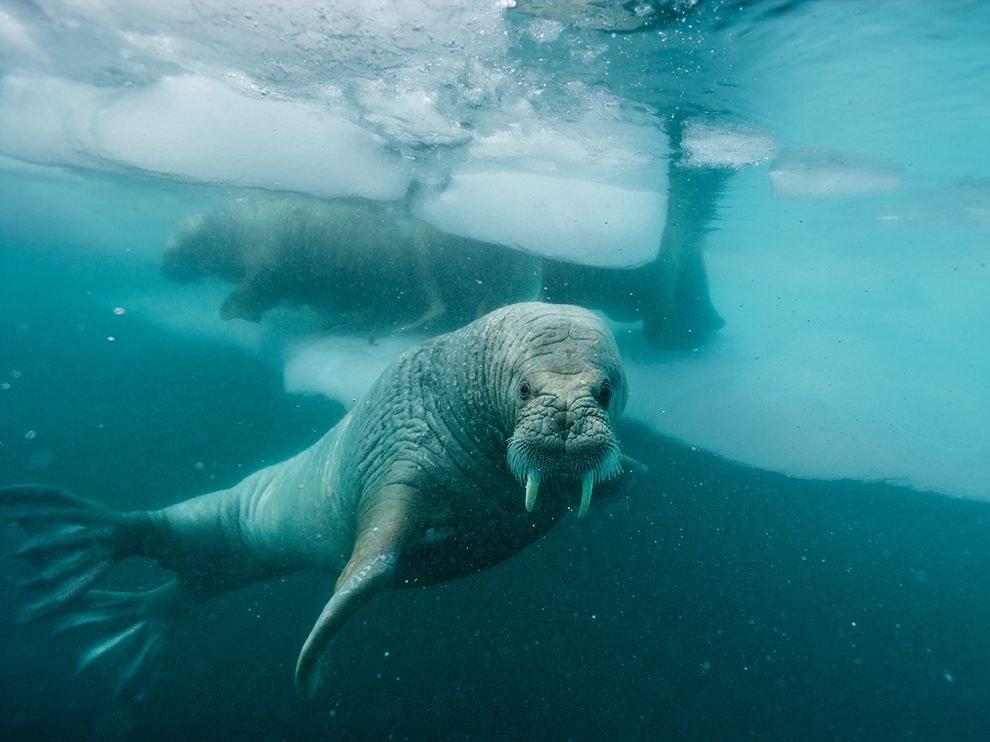 Морж у побережья Гренландии