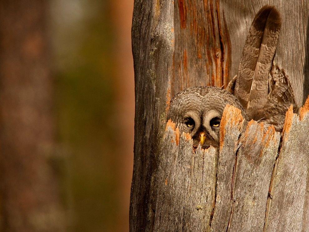 Серая сова охраняет свое гнездо