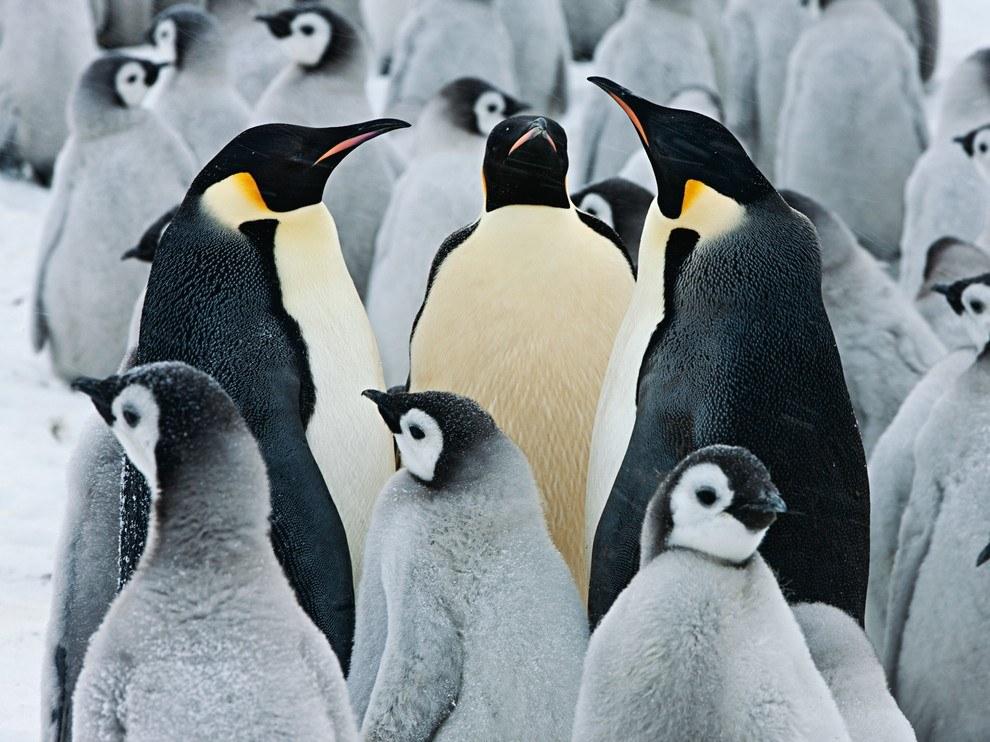 Императорские пингвины, Антарктида