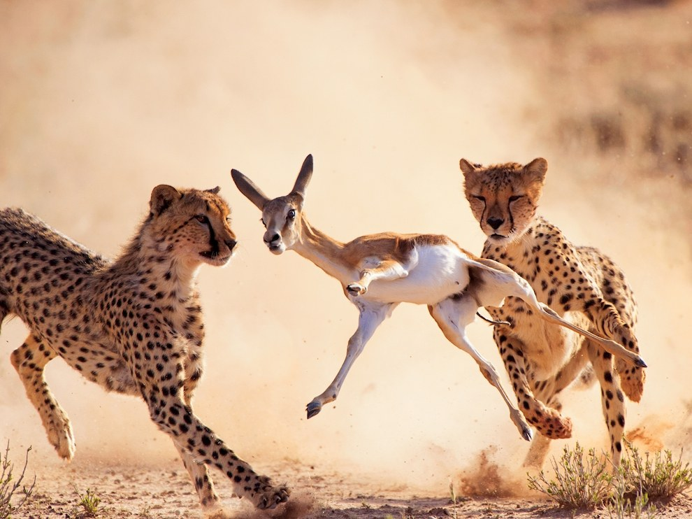 Охота гепардов, ЮАР