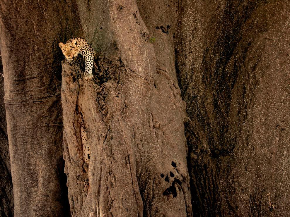 Леопард на баобабе