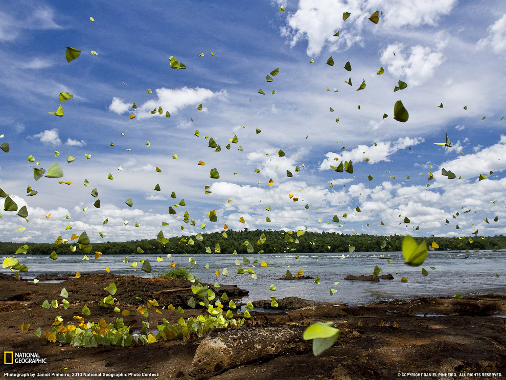 Большие скопления бабочек вдоль реки Игуасу на границе Бразилии и Аргентины являются обычным делом