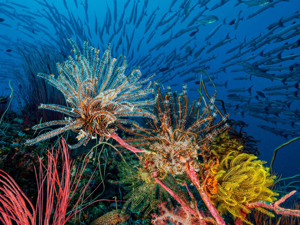 Морские лилии, Папуа-Новая Гвинея