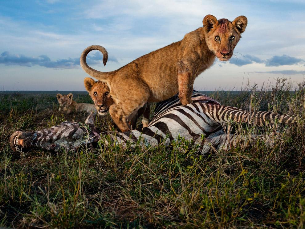 Львята, национальный парк Серенгети