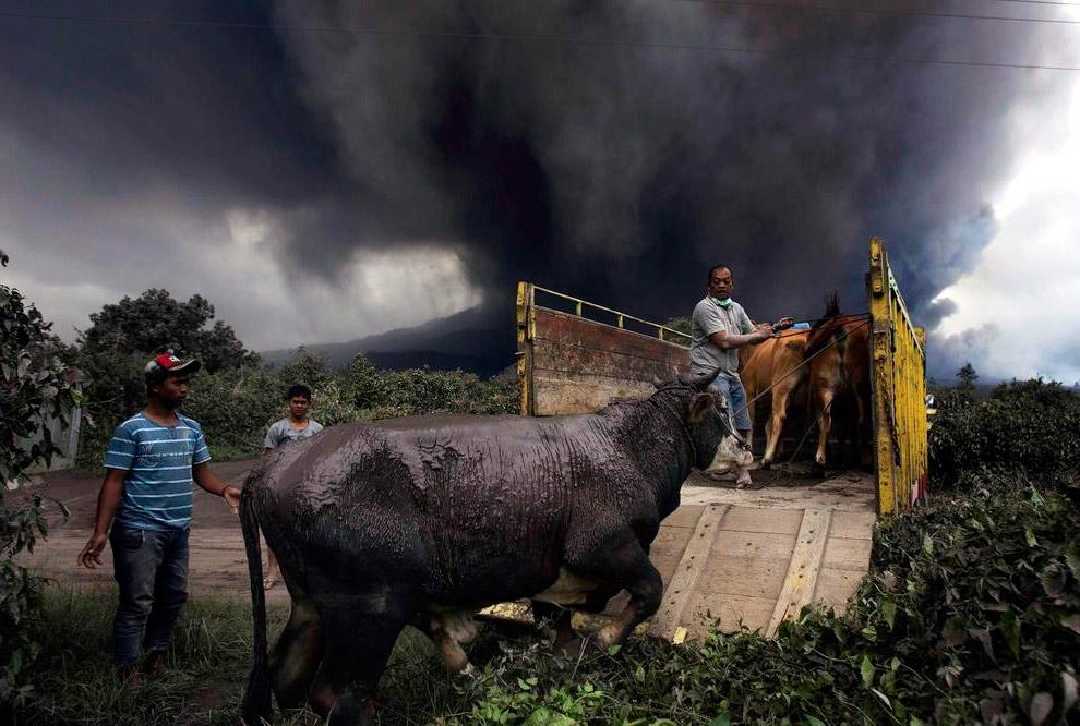 Местные жители эвакуируются вместе со своими домашними животными, покрытыми толстым слоем вулканического пепла