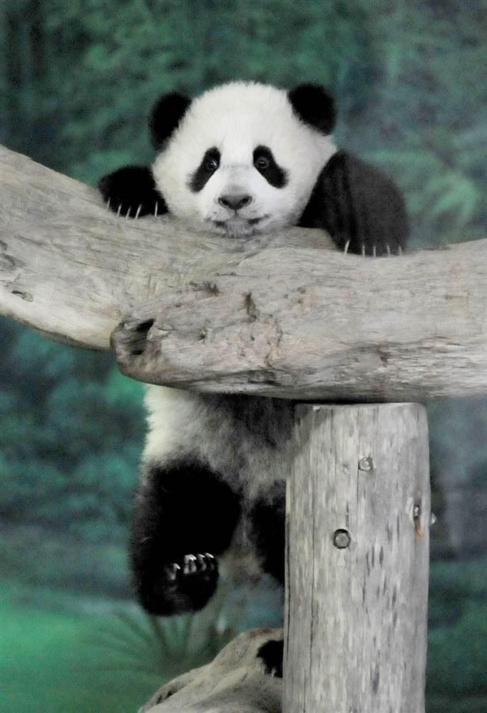 Когтистый детеныш в зоопарке в Тайбэе