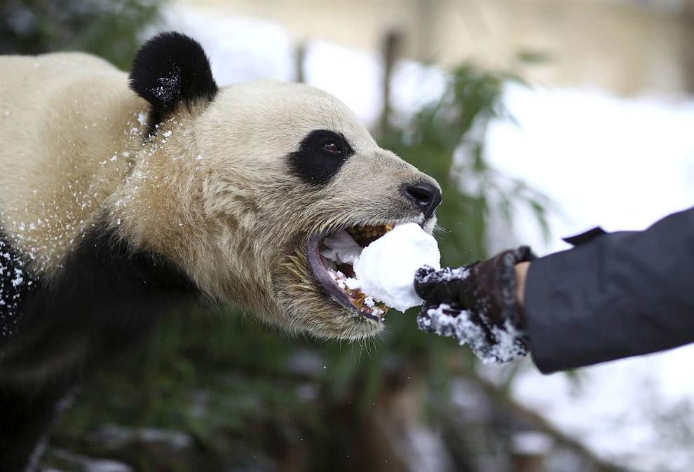 Посетитель кормит снежками большую панду в зоопарке в Куньмине, Китай