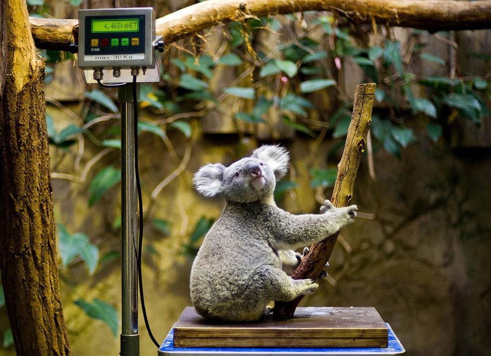 Коала на весах во время ежегодной инвентаризации в зоопарке в Дуйсбурге, Германия