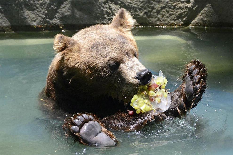 Медведь ест замороженные фрукты, чтобы охладиться