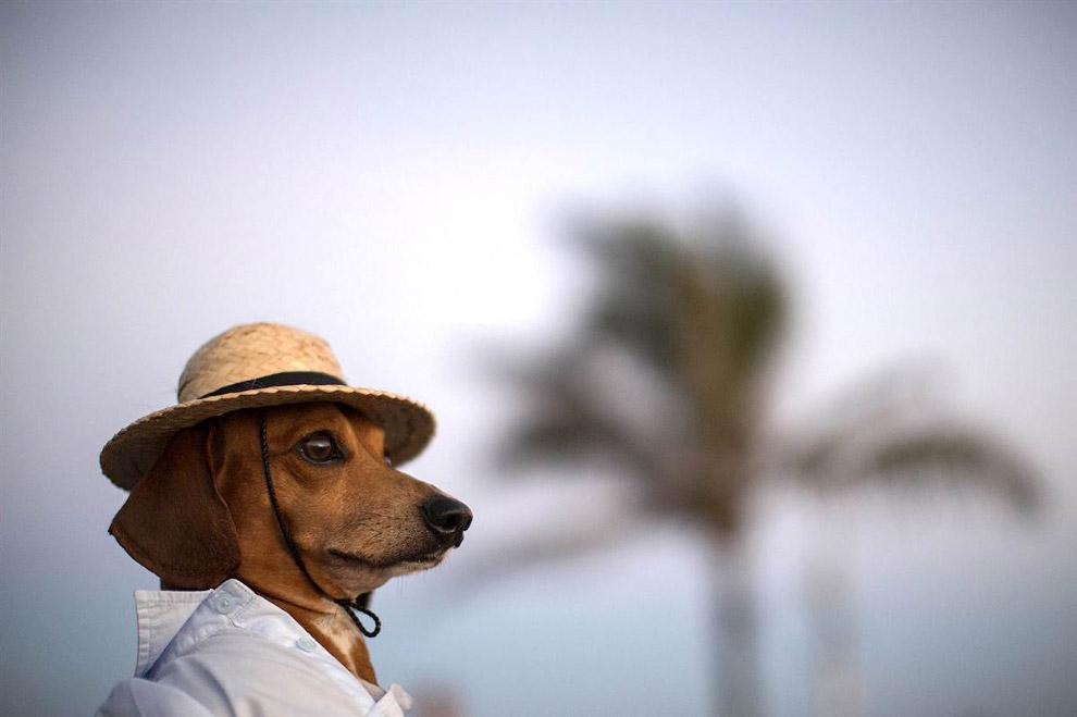 Модный пес из Рио-де-Жанейро, Бразилия