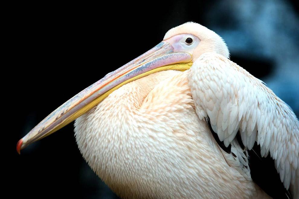 Пеликан из в зоопарка в Дрездене, Германия