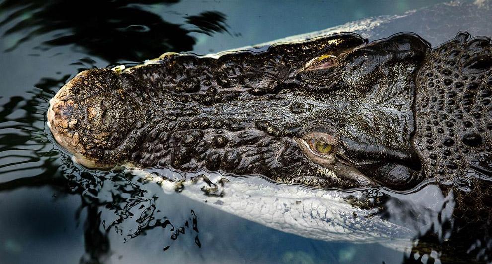 Гребнистый или морской крокодил в зоопарке в Дрездене