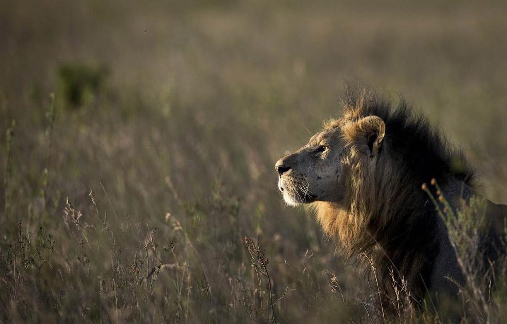 Лев в Национальном парке Найроби в Кении