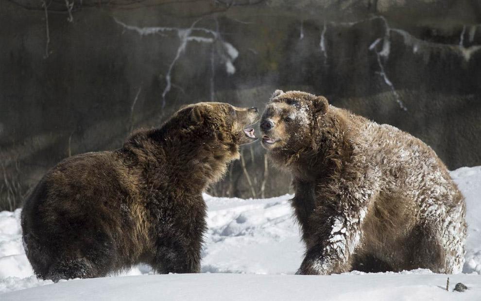 Медведи общаются на снегу в зоопарке Бронкса в Нью-Йорке