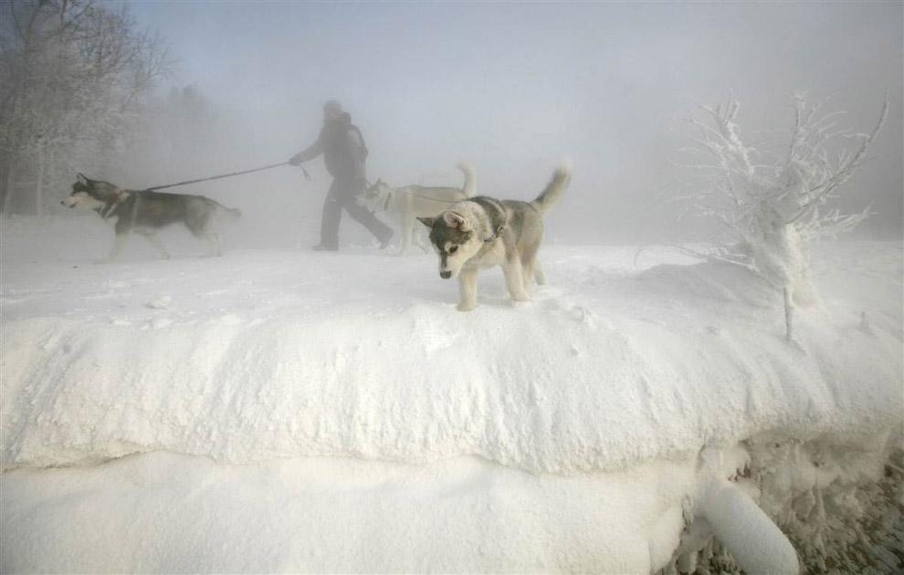 Мужчина идет со своими тремя лайками сквозь морозный туман на острове на реке Енисей, Красноярск