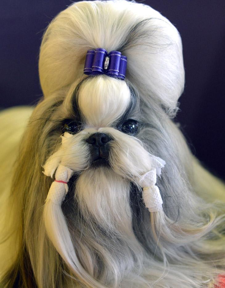 Ши-тцу́ или просто собака-лев