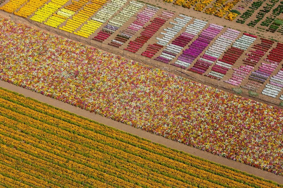 Цветочные поля в Калифорнии, США, 2013