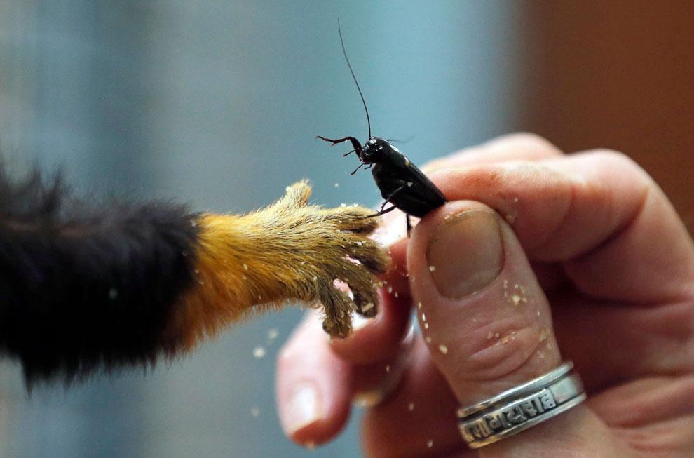 Угощайся. Работник частного зоопарка в Шаранте, Франция дает кузнечика тамарину — самому крупному представителю игрунковых обезьян