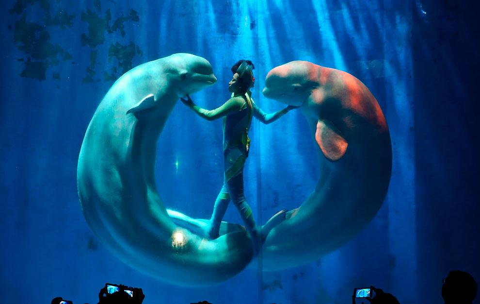 Шоу с белухами в аквариуме в Харбине, Китай