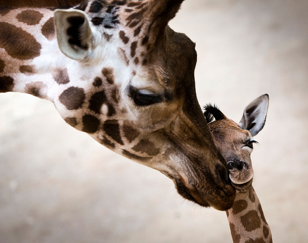 Жирафьи нежности, Кронберг, Германия
