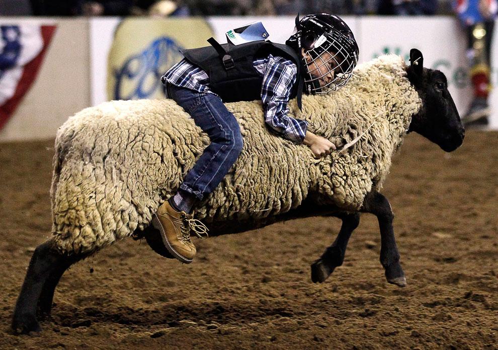 Покатушки и соревнования на овцах в Денвере