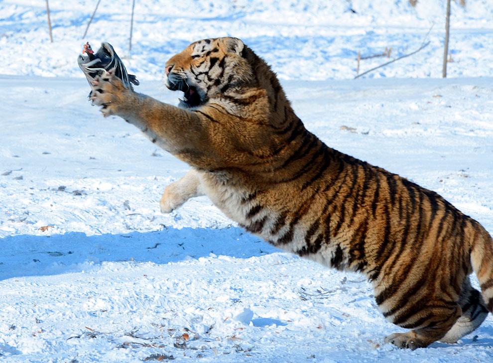 Сибирский тигр пытается поймать курицу, выпущенную егерем, чтобы развлечь посетителей парка в провинции Хэйлунцзян, Китай