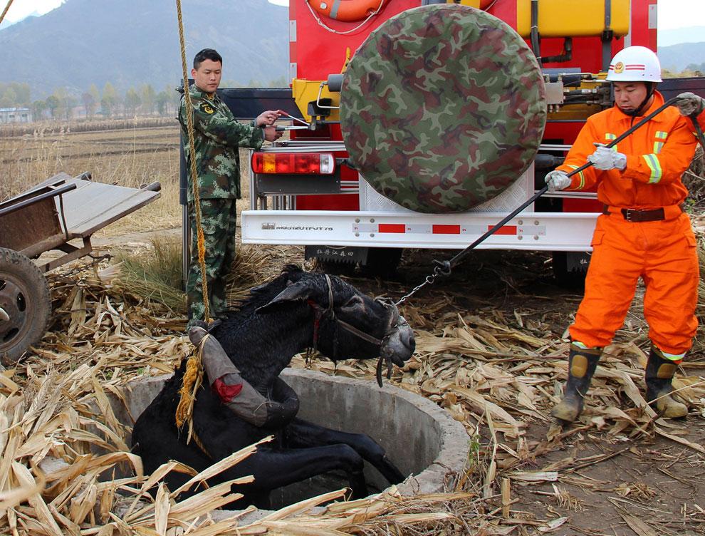 Пожарные спасают осла, провалившегося в колодец, провинция Хэбэй, Китай