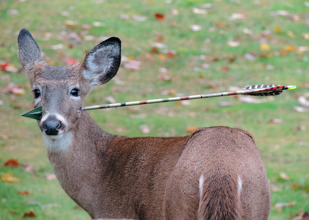 5-месячный олень со стрелой охотника в голове, штат Нью-Джерси