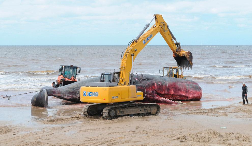 Пляж в Монтевидео, Уругвай. Идут работы по удалению с берега погибшего кита