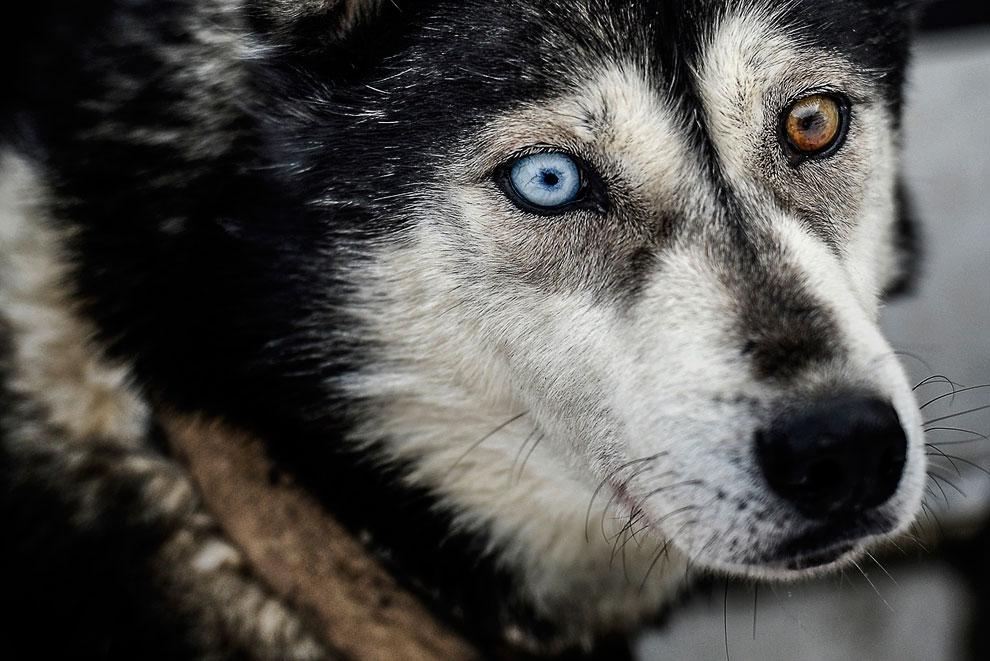 Гетерохромия — различный цвет радужной оболочки правого и левого глаза