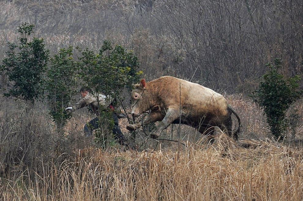 Сбежавшая корова нападает на фермера, который пытался ее поймать