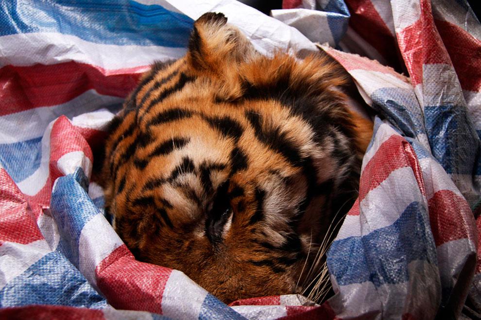 На востоке Китая в провинции Чжэцзян в грузовике, принадлежащему шеф-повару, был обнаружен мертвый амурский тигр