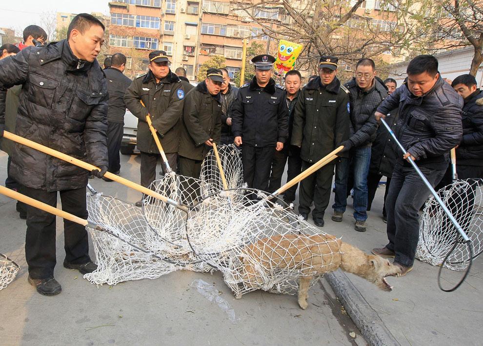 Отлов бродячих собак в провинции Хэнань, Китай