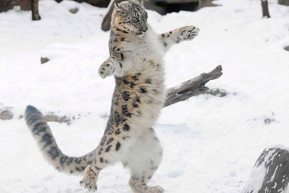 6-месячный снежный барс Эверест в зоопарке в Брукфилде, штат Иллинойс