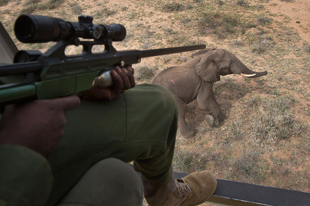 Выстрел в слона дротиком с транквилизатором в Кении. Международный фонд защиты животных устанавливают GPS-трекеры, чтобы отследить миграционные пути